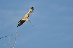 Nest Building Time for the Red-Tail Hawk. On a Bright Sunny Day Royalty Free Stock Images