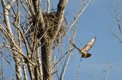 Nest Building Time for the Red-Tail Hawk. Spring Nest Building Time for the Red-Tail Hawk Royalty Free Stock Image