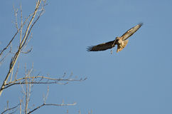 Nest Building Time for the Red-Tail Hawk. Springtime Nest Building Time for the Red-Tail Hawk Royalty Free Stock Image