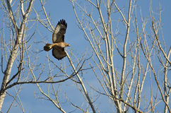 Nest Building Time for the Red-Tail Hawk. Springtime Nest Building Time for the Red-Tail Hawk Stock Photography