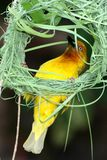 Nest Building Weaver Stock Image