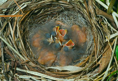 Nest of bunting 4 Stock Image