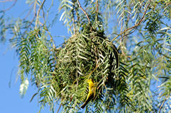 Nest of a Cape weaver bird Stock Image