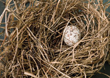 Nest with Cardinal Egg. Brown speckled Northern Cardinal egg, less than 1 inch in length, in nest royalty free stock photography