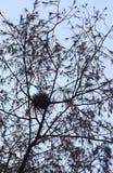 Nest in Casuarina Equisetifolia-Baum mit Niederlassungen und Blättern im abstrakten Muster Lizenzfreie Stockfotos