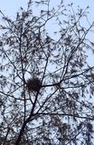 Nest in Casuarina Equisetifolia Tree with Branches and Leaves in Abstract Pattern Royalty Free Stock Photos