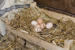 Nest of the chicken eggs. Chicken eggs in the nest Royalty Free Stock Images