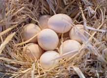 Nest with chicken eggs Stock Image