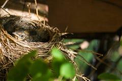 Nest with chicks blackbird. 2016 royalty free stock photo