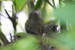 Nest with chicks of a small bird Stock Photo