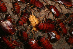 Nest of cockroaches Royalty Free Stock Image
