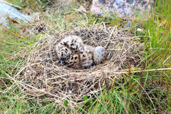 Nest of the Common Gull (Larus canus) Royalty Free Stock Photos