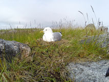 Nest of the Common Gull (Larus canus) Stock Photo