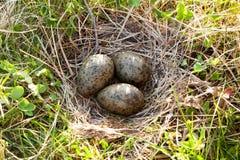 Nest of the Common Gull (Larus canus) Stock Photos