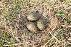 Nest of the Common Gull (Larus canus) Stock Images