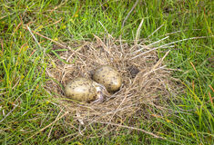Nest of the Common Gull Larus canus with two eggs, one is hatching Royalty Free Stock Images