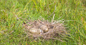 Nest of the Common Gull Larus canus with two eggs, one is hatching Stock Images