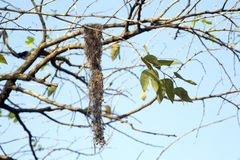 Nest of common tody-flycatcher Stock Image