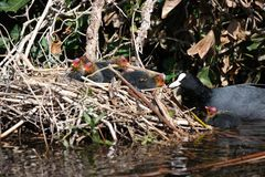 Nest coots. Nest baby coots being fed stock photography