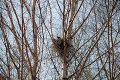 Nest of a crow Stock Images