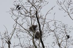 Nest and crows on tree top branch. With gloomy grey sky royalty free stock photos