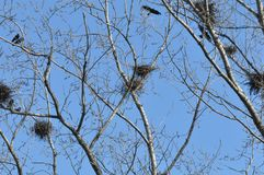 Nest and crows on tree top branch. With blue sky stock photo