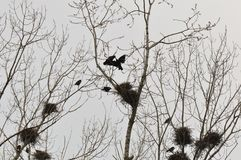Nest and crows on tree top branch. With gloomy grey sky stock photos
