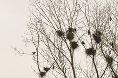 Nest and crows on tree top branch. With gloomy grey sky stock photography