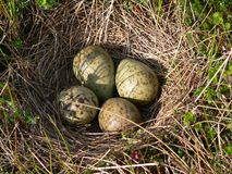 Nest of  curlew Stock Photo