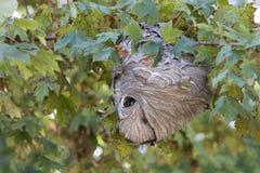 Nest der aktiven Hornisse mit Hornissen Stockfotografie