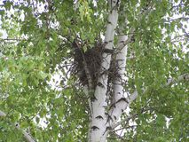 Nest in der Gabel der Birke Stockfoto