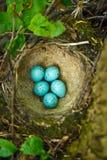 Nest der Lied-Drossel (Turdus philomelos). Lizenzfreie Stockfotos