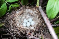 Nest des Acanthis-cannabina Lizenzfreie Stockbilder