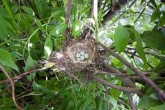 Nest des Acanthis-cannabina Lizenzfreies Stockbild