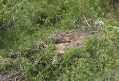 Nest des afrikanischen Meeres Eagle Lizenzfreies Stockbild