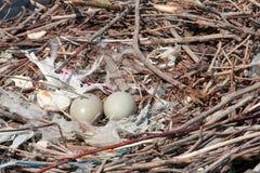 Nest des leeren Schwans Stockfoto