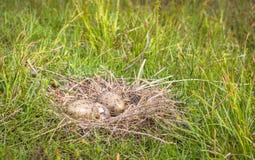 Nest des Sturmmöwe Larus canus mit zwei Eiern, man brütet aus Lizenzfreie Stockfotos