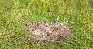 Nest des Sturmmöwe Larus canus mit zwei Eiern, man brütet aus Stockbilder