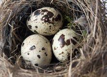 Nest des Vogels mit drei Eiern Stockbilder