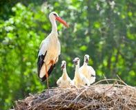 Nest des weißen Storchs Stockbild