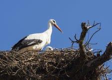 Nest des weißen Storchs Stockfoto