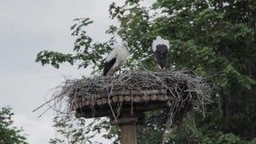 Nest des weißen Storchs stock video
