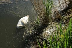 Nest with eggs of the mute swan, Gygnus Olor in the park in spring.