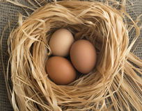 Nest of Dry Grass and Three Brown Chicken Eggs Stock Image