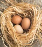 Nest of Dry Grass and Three Brown Chicken Eggs Royalty Free Stock Photo