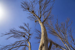 Nest in a dry tree under the blue sky, Wafra Kuwait Royalty Free Stock Image