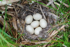Nest of duck eggs Royalty Free Stock Photography