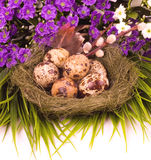 Nest with Easter quail eggs with flower Royalty Free Stock Photo