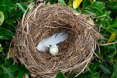 Nest with egg. And feather in an hedge stock photography