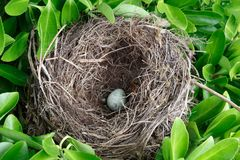 Nest with egg. Nest with an egg between the leaves of an hedge royalty free stock photography